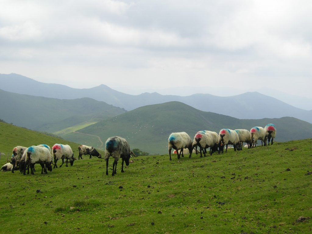SHEEP IN THE PYRENEES