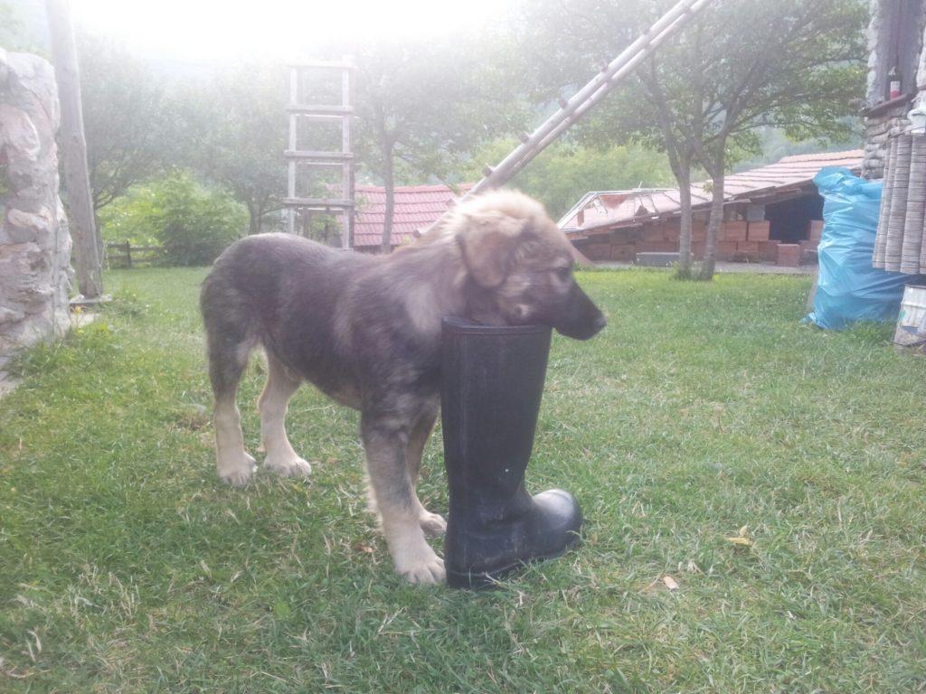Hond met laars in de mond