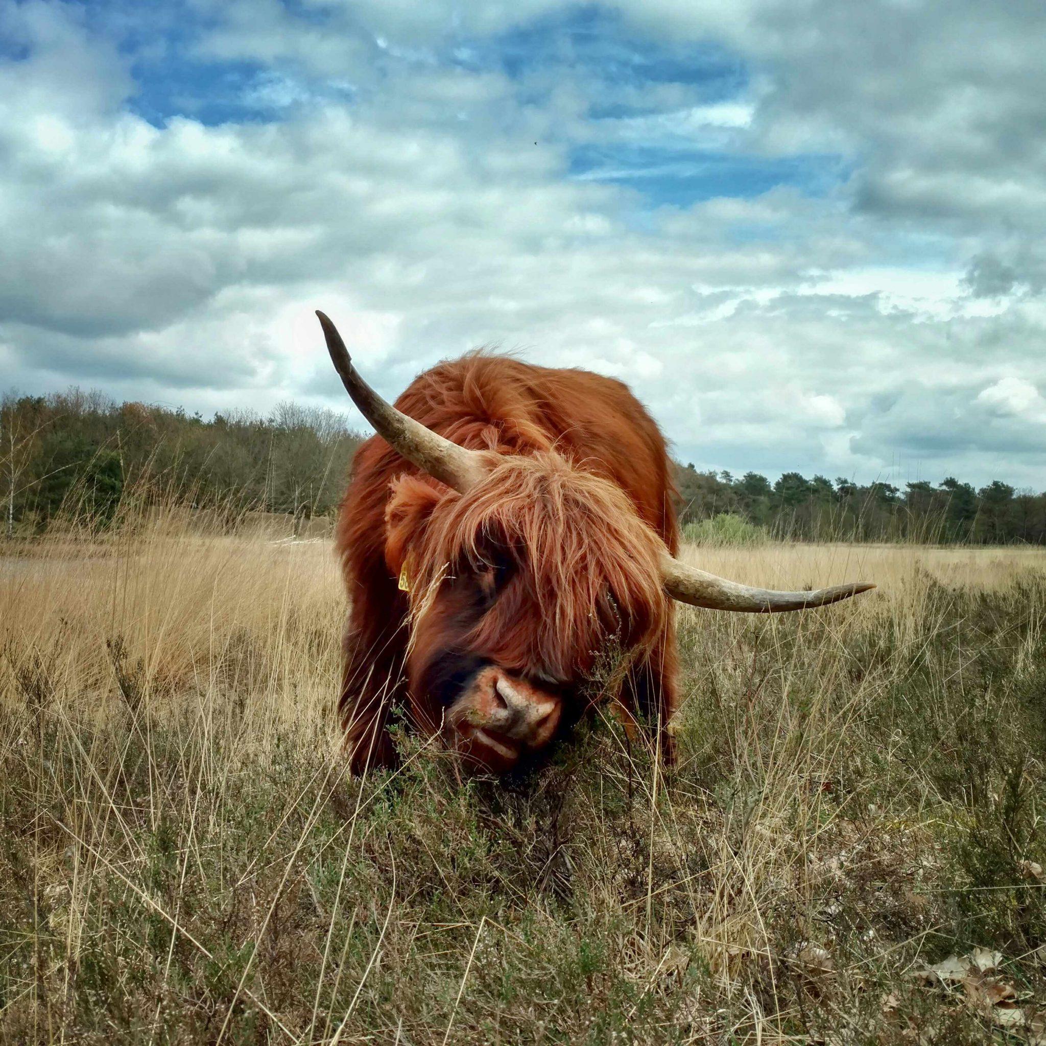 Schotse_hooglander_pelgrimspad_nederland