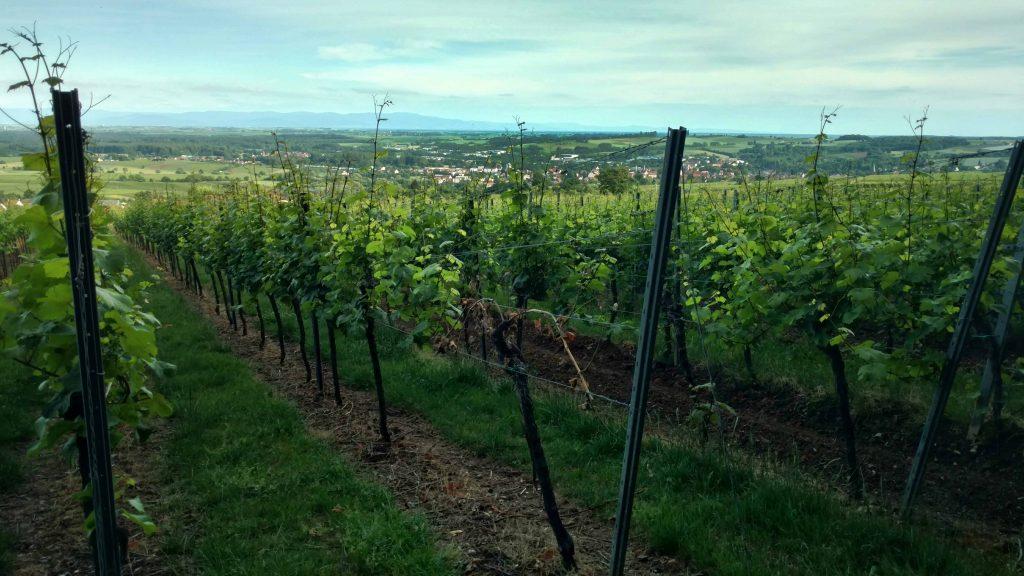 Wein oder Wald?