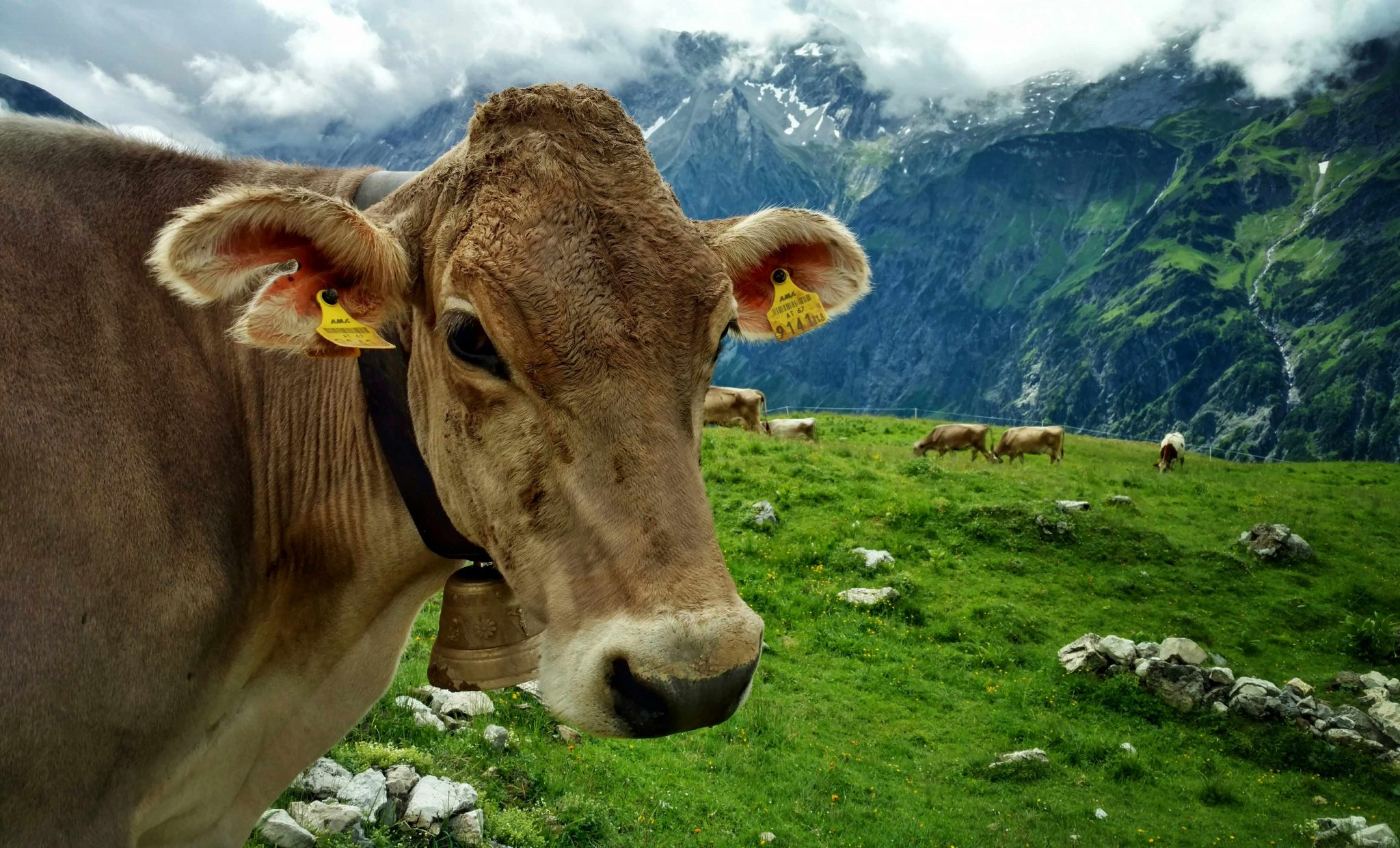 Austrian_cow_via_alpina
