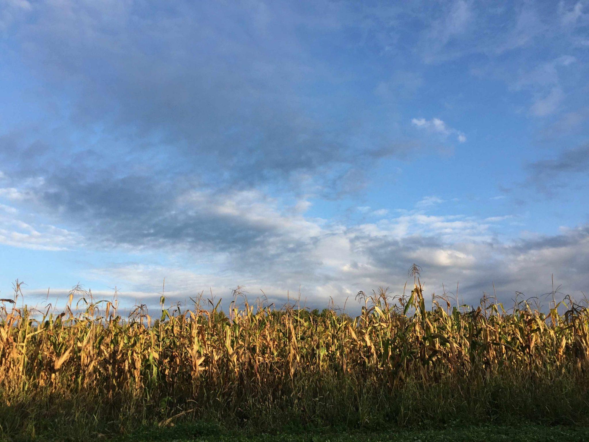 Goedemorgen vanuit tussen het graan