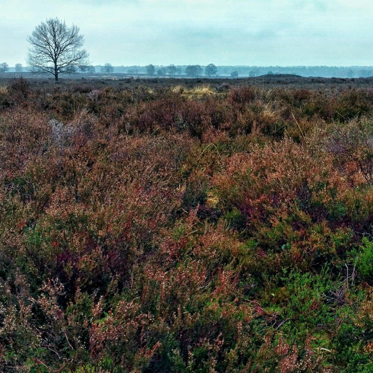 Hiking in the Netherlands: Heathlands, Veluwe - Gelderland