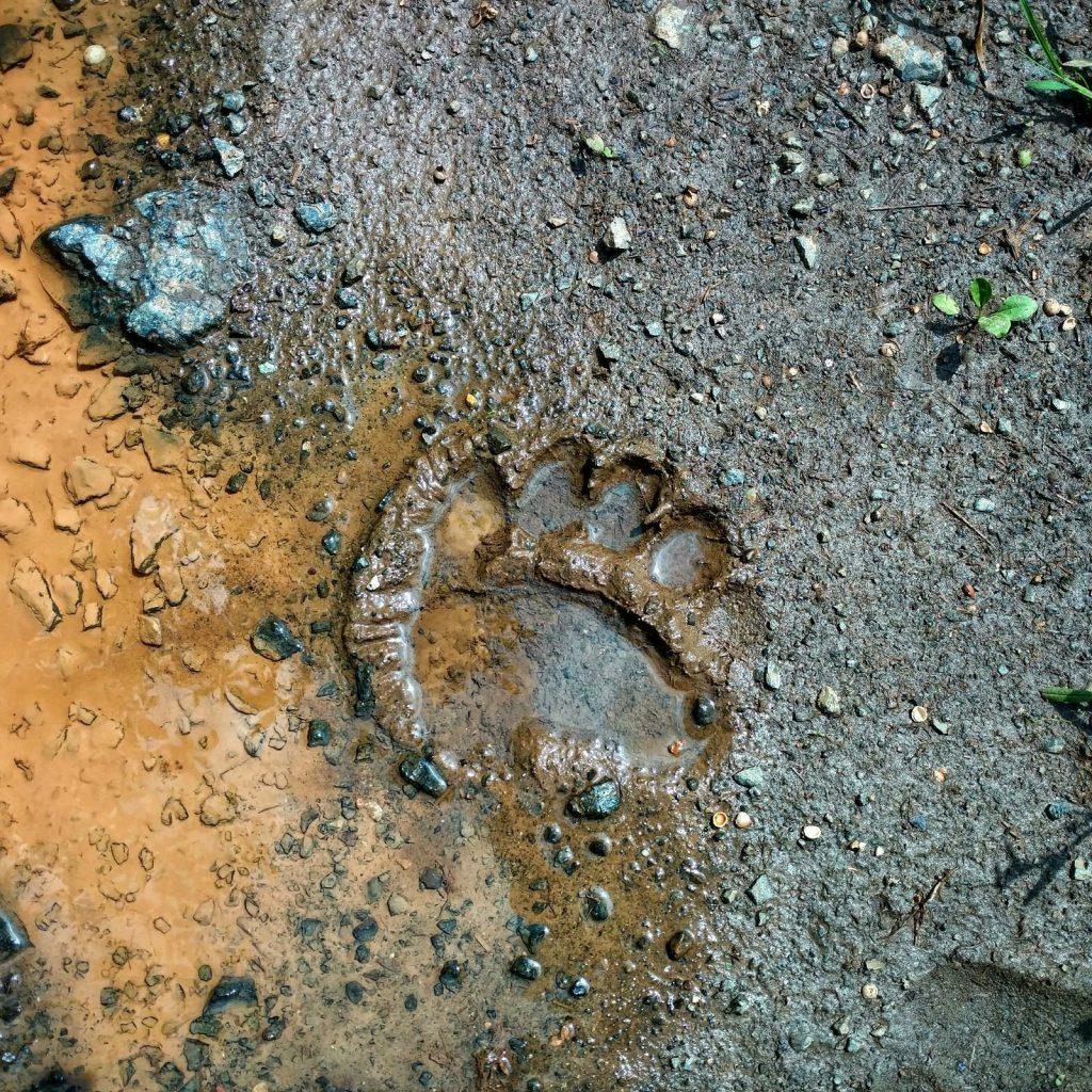 Voetafdrukken van berenpoten op de weg, in de modder