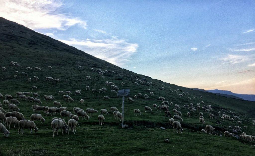 Sheep on Sharr mountain