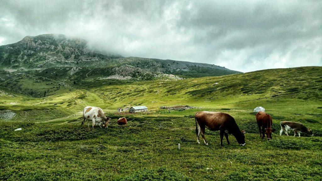 Het vee hoog in de bergen, gezellig grazen tussen de plastic flessen | Heel veel afval